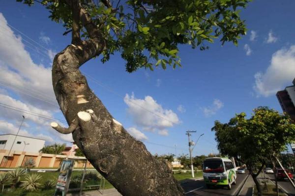 Árvores usadas por periquitos na Av. Efigênio Salles são podadas