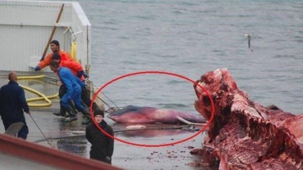 Japão retomará caça comercial de baleias no ano que vem