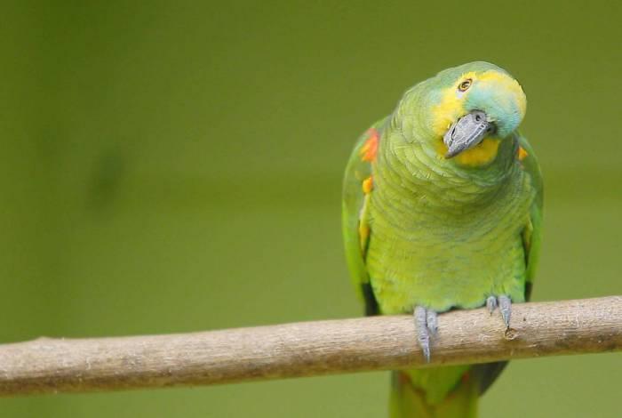 Herói! Papagaio de estimação dá o alerta e evita assalto