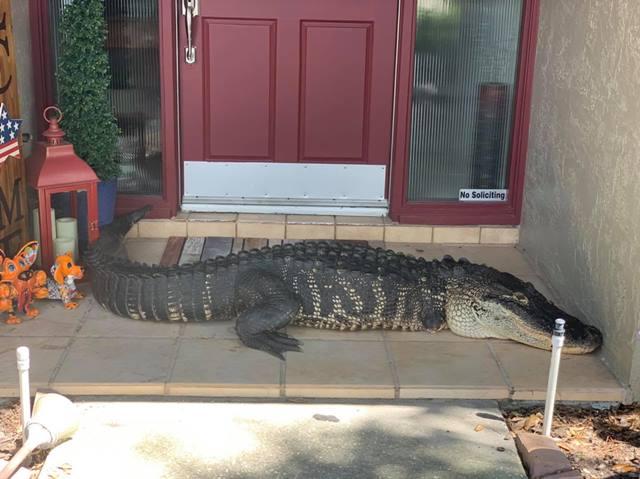 Família encontra jacaré de 3 metros na porta de casa
