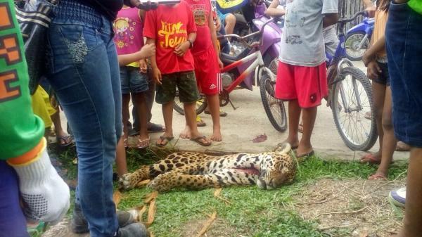 Onça é morta por caçador e tem carne distribuída a moradores, no Amazonas
